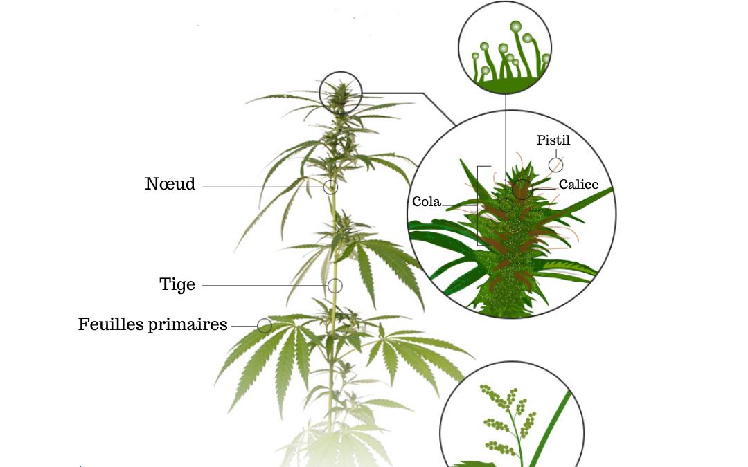 Cannabis mâle et femelle : comment déterminer le sexe de votre plante ?