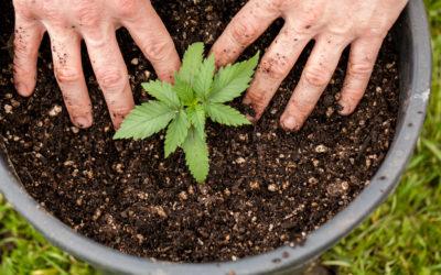 Engrais organiques et chimiques de cannabis pour votre croissance