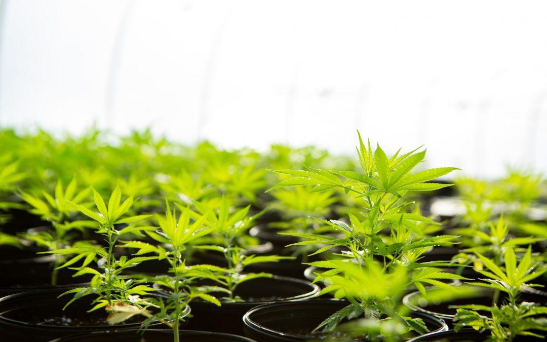 Comprendre, identifier et utiliser les feuilles de cannabis
