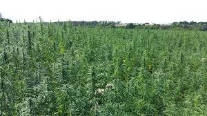 Pourquoi les producteurs de cannabis envisagent-ils l'agriculture ?