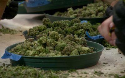 L'Allemagne fait face à une pénurie potentielle temporaire de fleurs de cannabis
