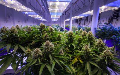 Lexique du cannabis